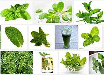 VISTARIC 400 Zitronenthymian Samen Blumenkräutersamen, Impressive Schnell wachsend