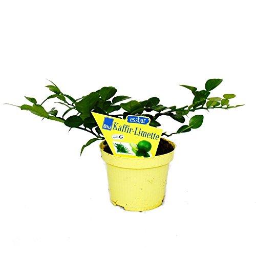 Exotenherz - Kaffir-Limette - Citrus hystrix - 2 Pflanze - Kaffernlimette Gewürzpflanze
