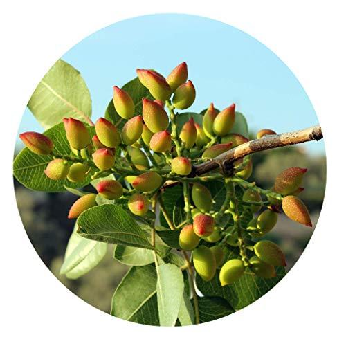 10 echte Pistazien Samen / Pistacia vera / Bio Saatgut / frosthart / Ernte Oktober 2020