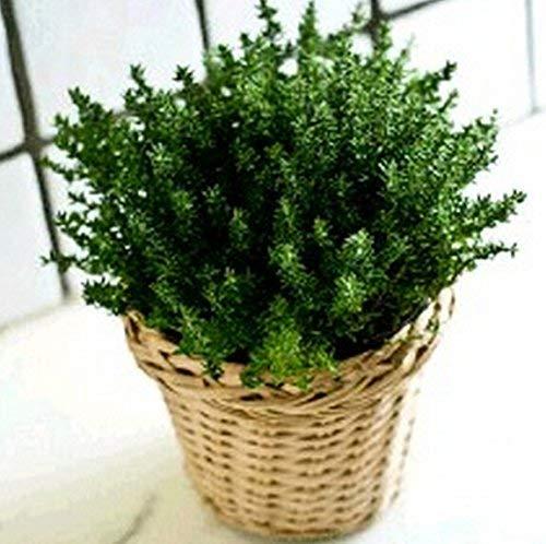 Schlussverkauf! 400 Zitronenthymian Kräutergarten Pflanze Pflanzensamen Zitronen-Thymian Moskito...