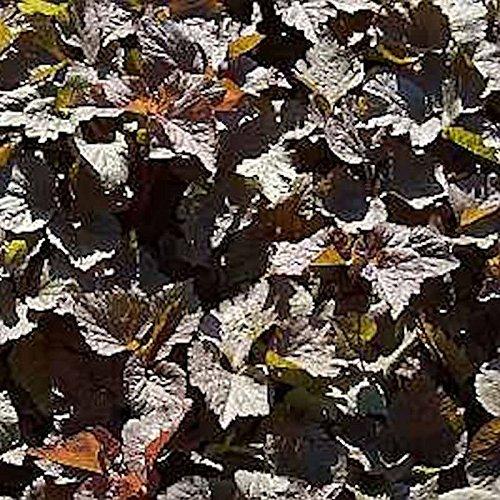 Rotlaubige Japanische Petersilie - Cryptotaenia japonica