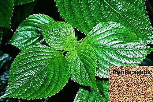 10.000 Perilla frutescens Samen, Shiso, Schwarznessel, Zi Su, asiat. Gewürzkraut, wichtig in der...